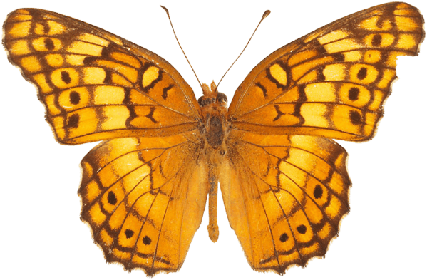 Orange Butterfly Png Image Butterflies Download PNG Image
