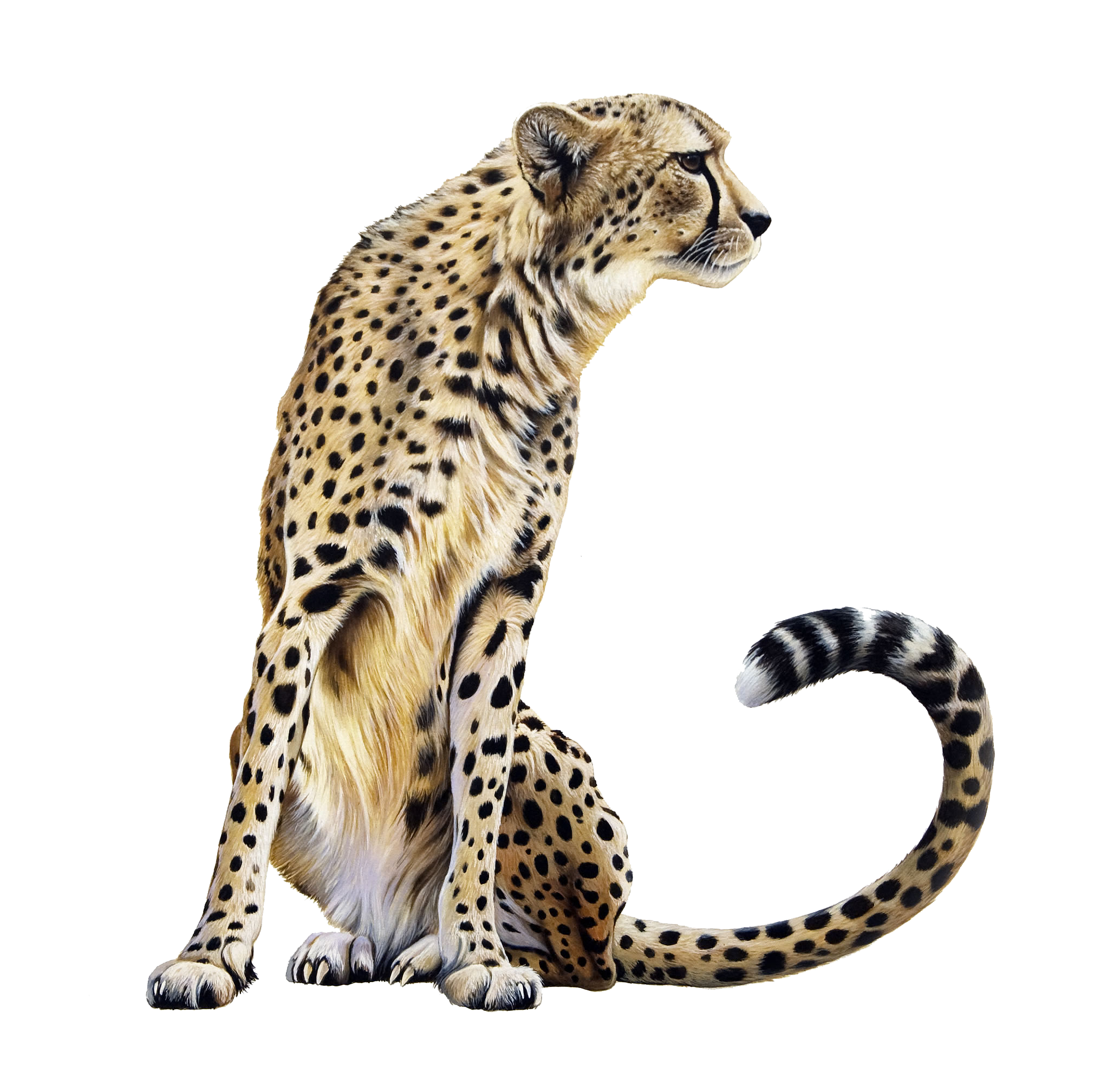 Cheetah Transparent PNG Image