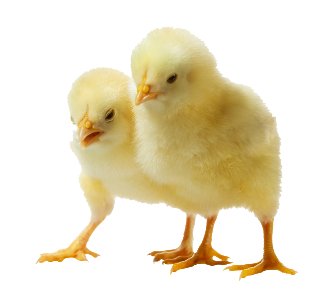 Baby Chicken Clipart PNG Image