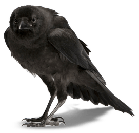 Crow Png Image PNG Image