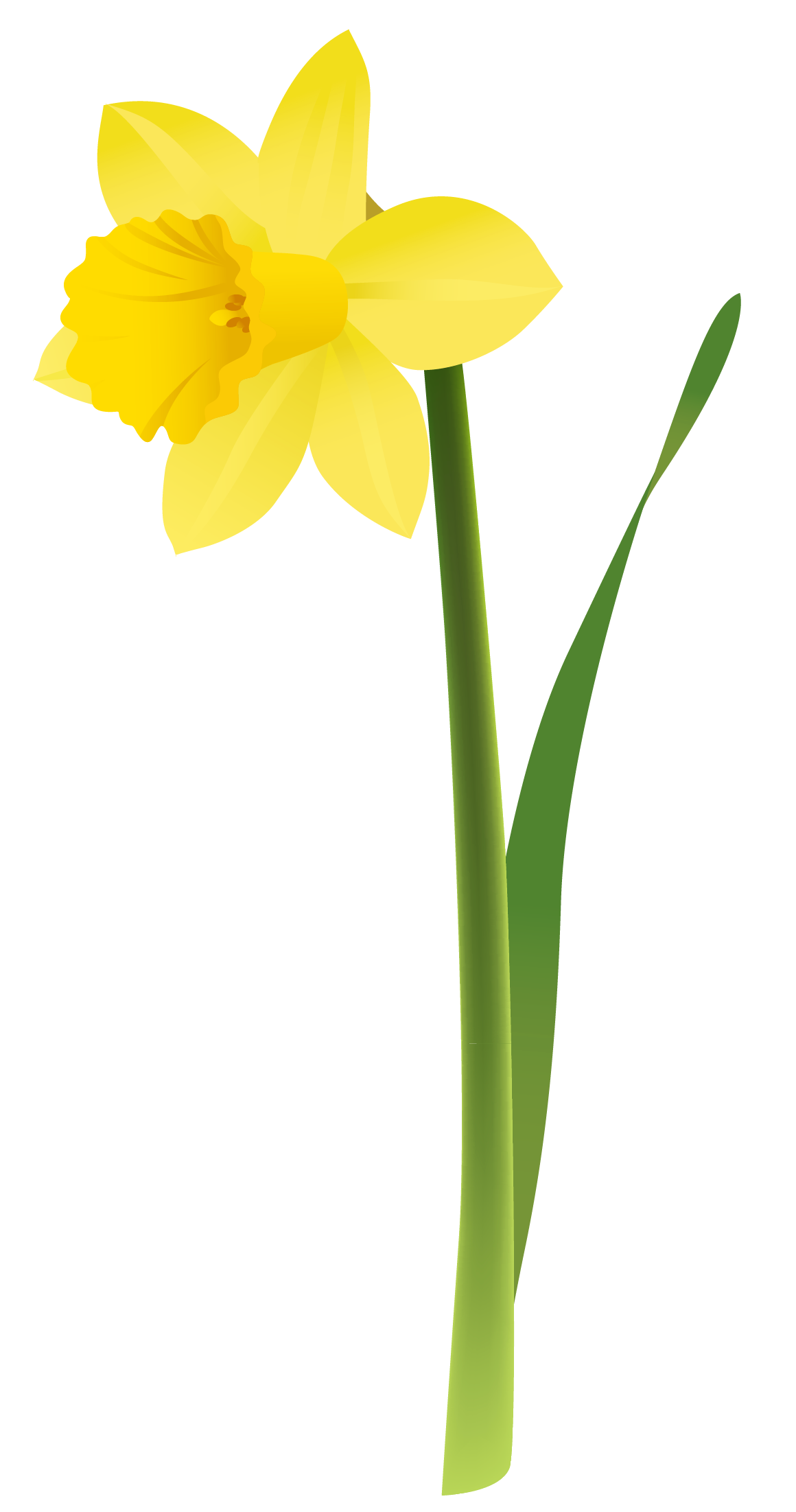 Daffodils Png Picture PNG Image