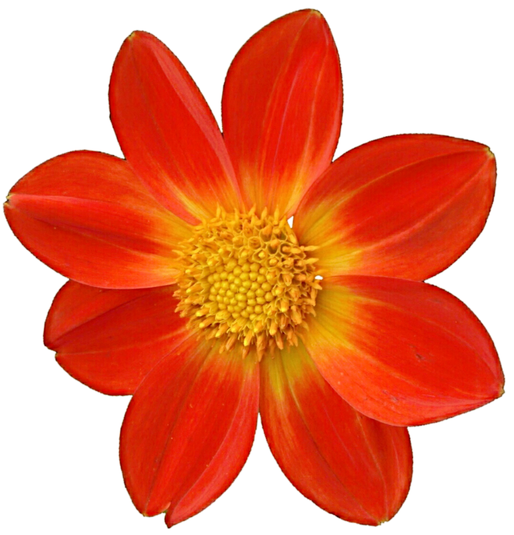Dahlia Png File PNG Image