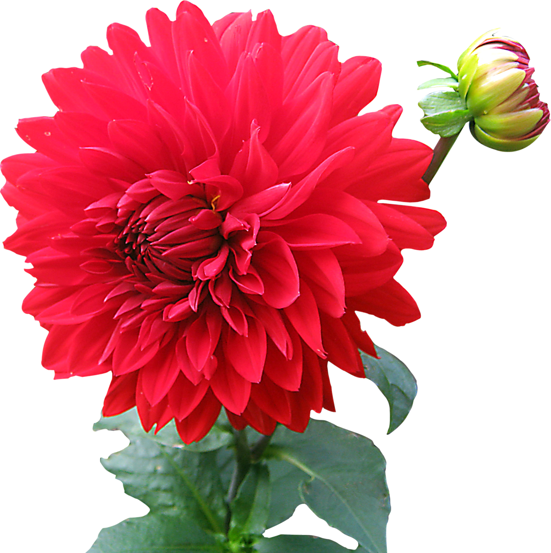 Dahlia Free Png Image PNG Image