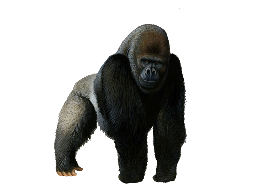 Gorilla Photos PNG Image