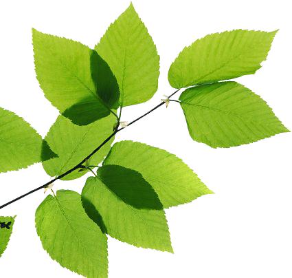 Download Green Leaves Transparent Image HQ PNG Image ...