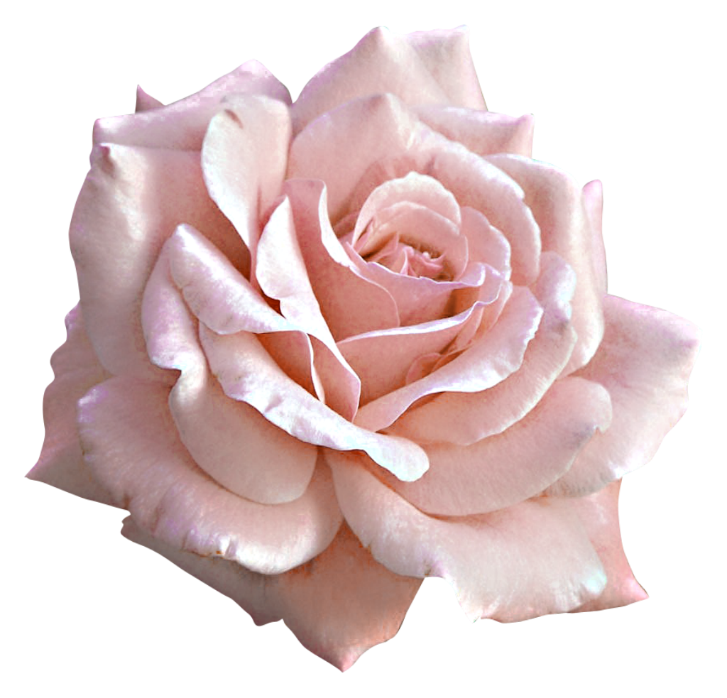 Pink Rose Large Flower Light Free Clipart HD PNG Image
