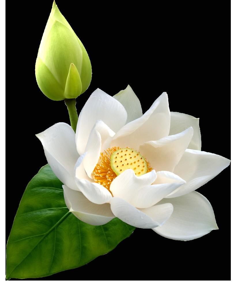 Download Lotus Hd Hq Png Image Freepngimg
