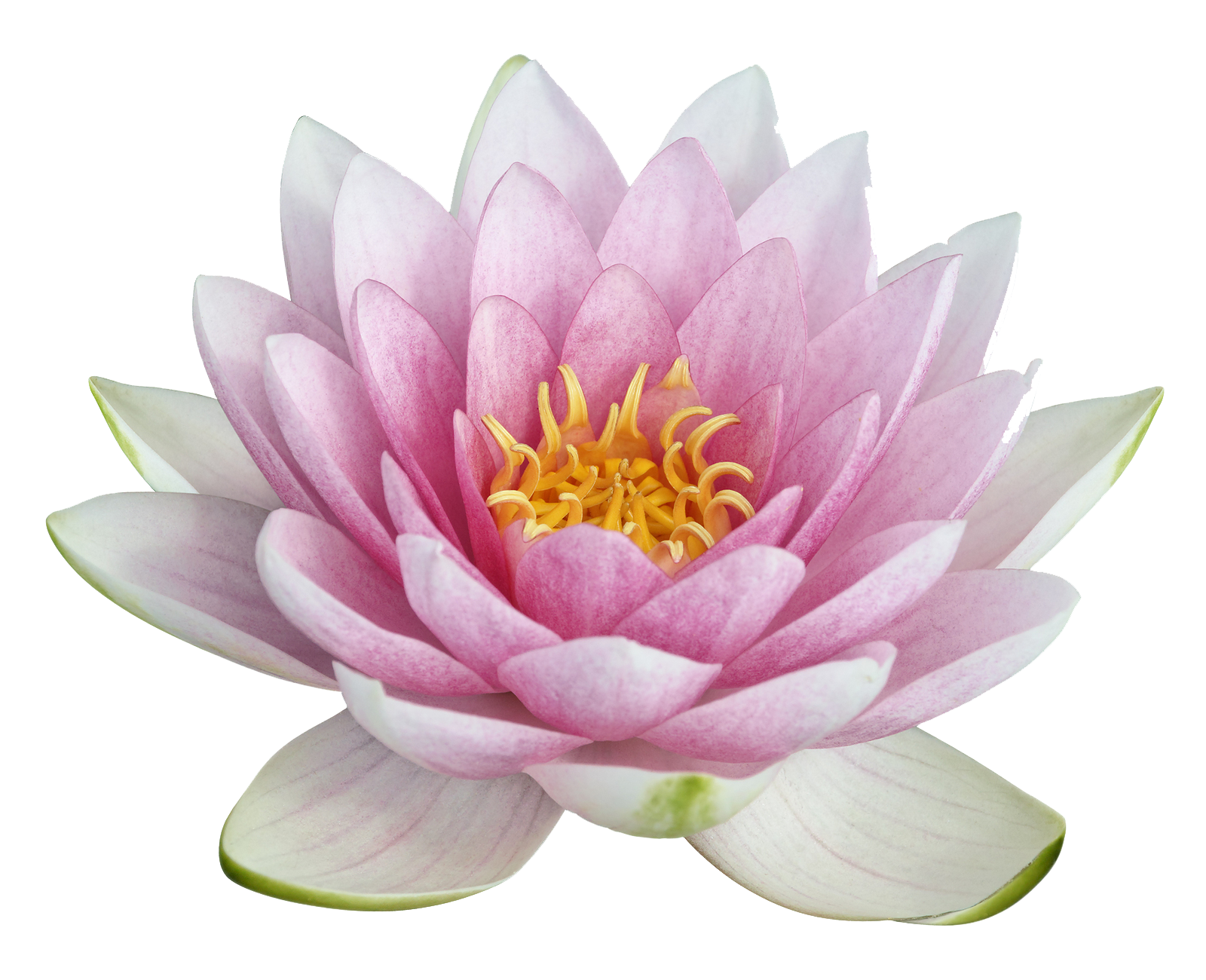 Download Lotus Image Hq Png Image Freepngimg