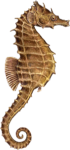 Seahorse Png File PNG Image