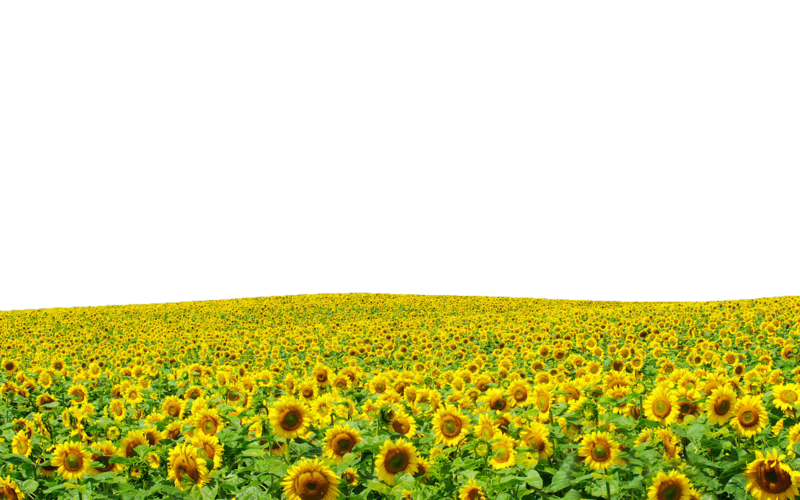 Sunflowers Png Hd PNG Image