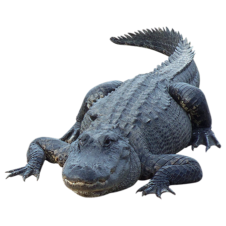 Alligator Picture PNG Image
