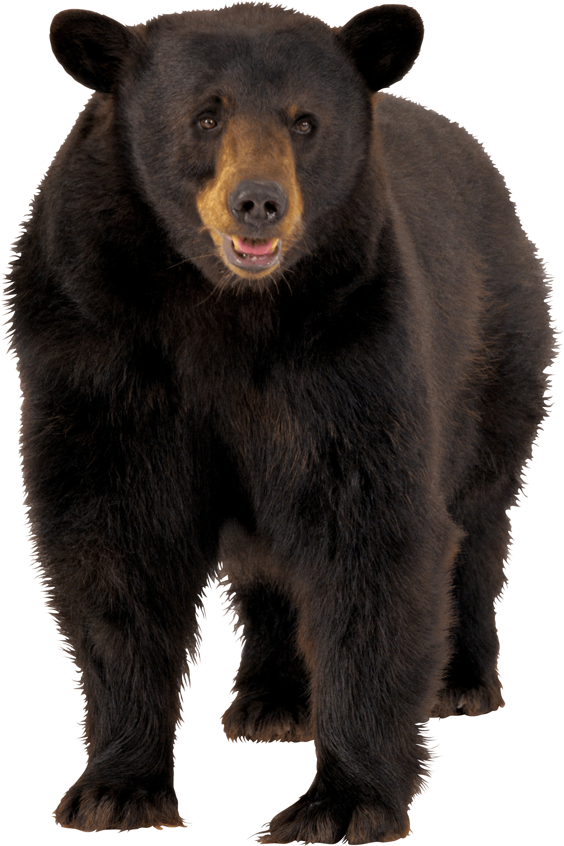 Brown Bear Png Image PNG Image