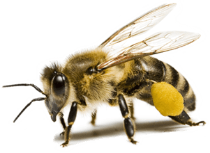 Bee Png Image PNG Image