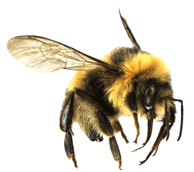 Bee Png 7 PNG Image
