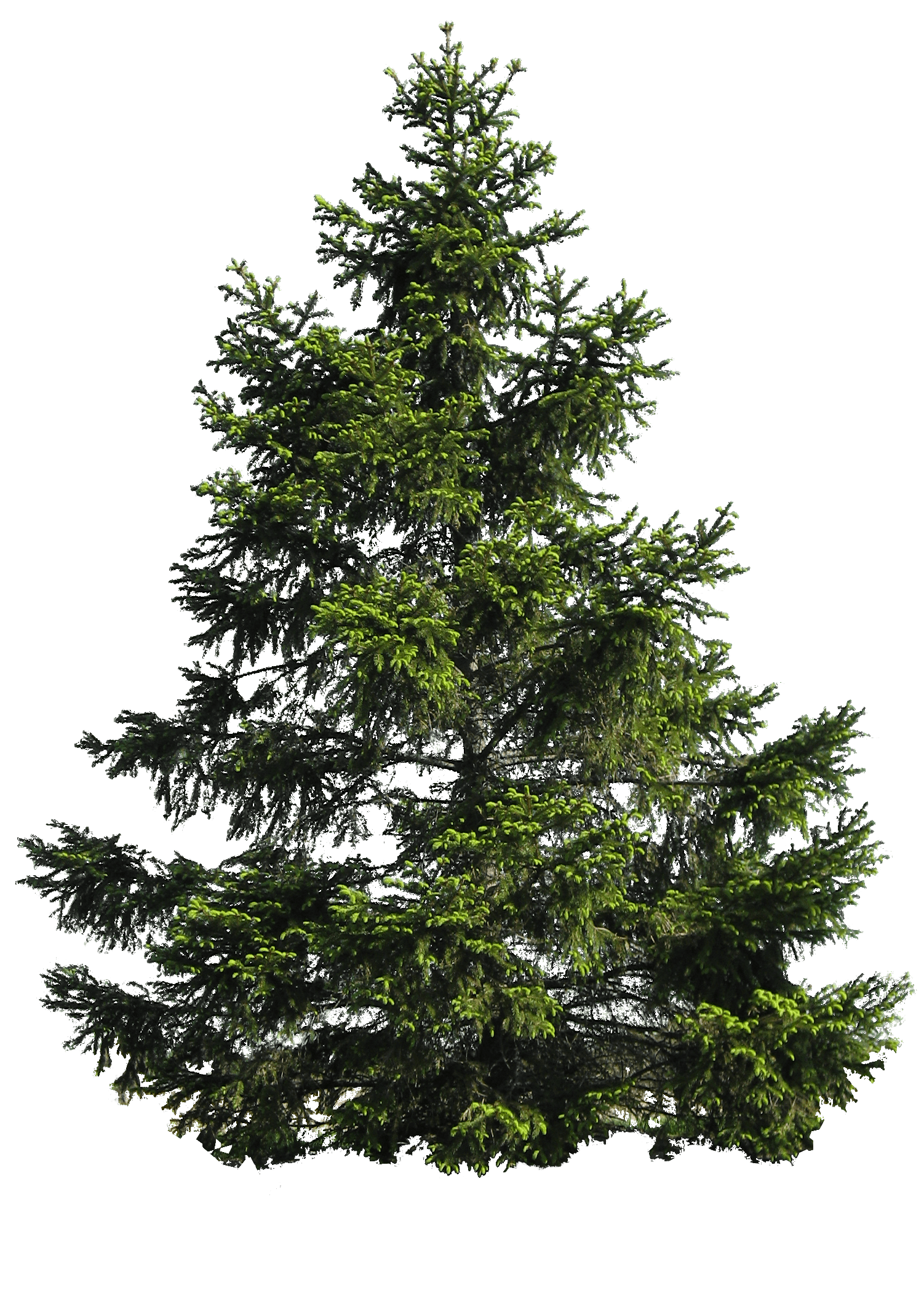 Fir Noble Evergreen Family Tree Pine PNG Image