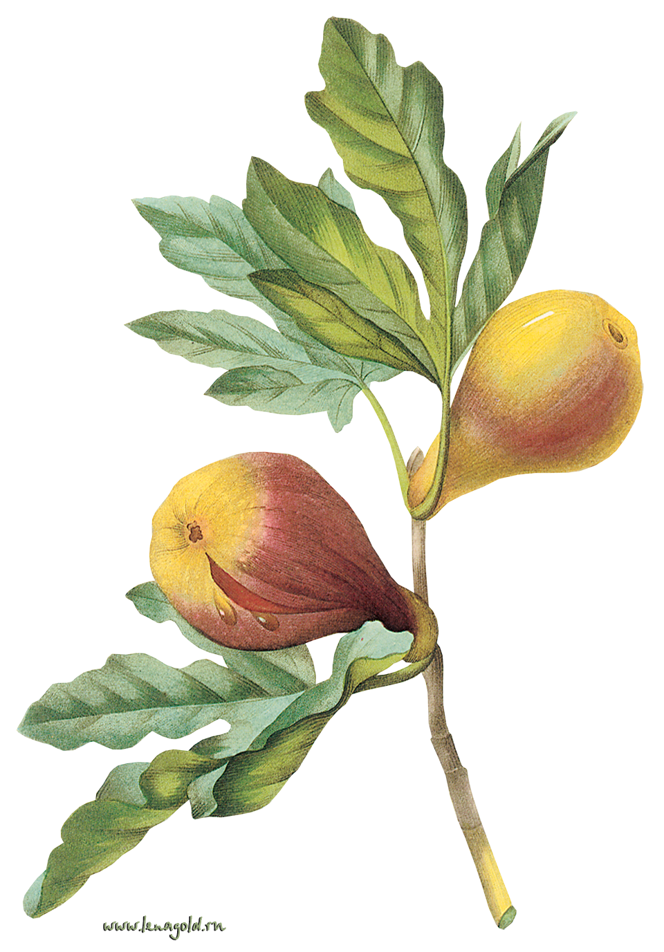 Plant Flower Tree Fruit Common Fig PNG Image