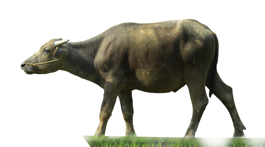 Buffalo Transparent PNG Image