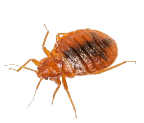 Bed Bug Download Image Download HD PNG PNG Image