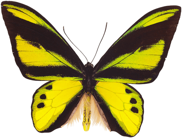 Flying Butterfly Png Image PNG Image