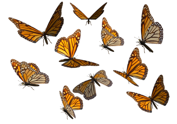 Butterflies Swarm Transparent Background PNG Image