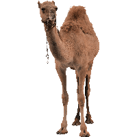 Download Camel Free PNG photo images and clipart  0a11ded4e4e5