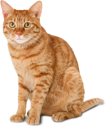 Cat Png PNG Image
