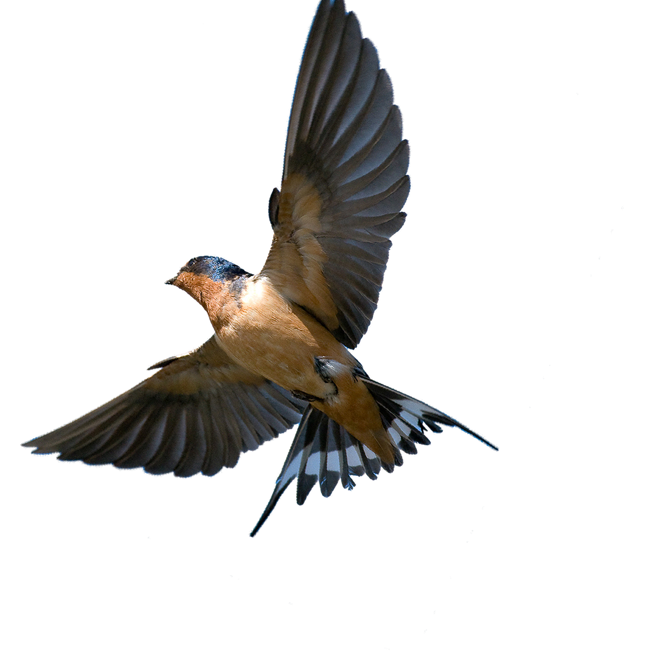 Southern Flying Tree Rough-Winged Swallow Bird Barn PNG Image