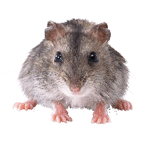 Rat Mouse Image
