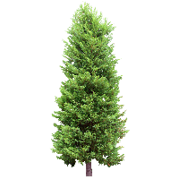 Fir Tree Image