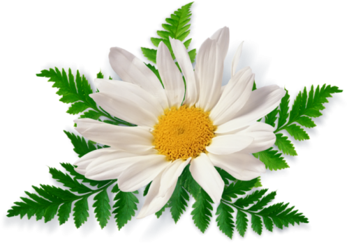 Camomile Free Download Png PNG Image