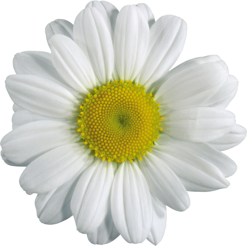 Camomile Png PNG Image