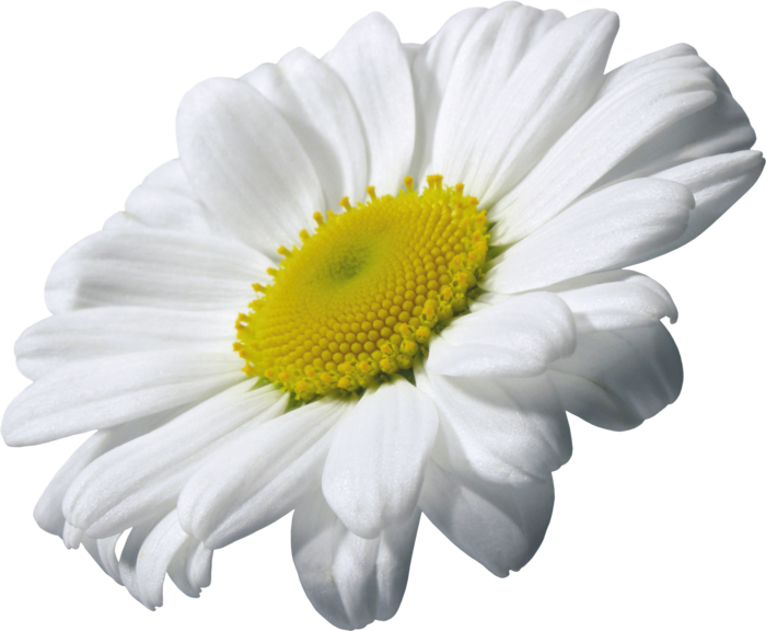 Camomile Transparent PNG Image