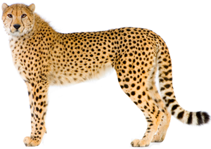 Cheetah Picture PNG Image