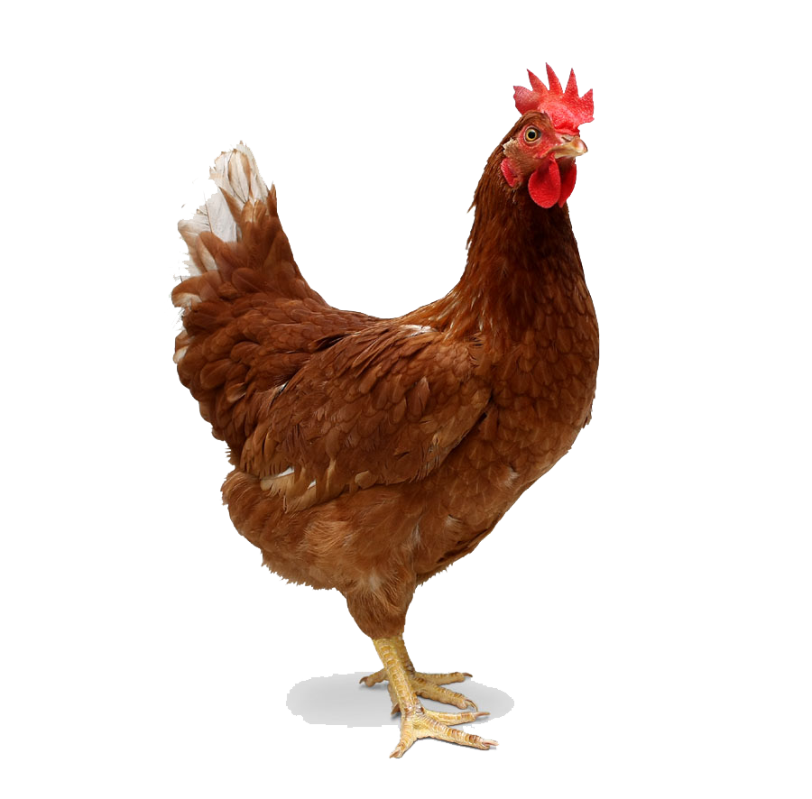 Chicken Transparent PNG Image