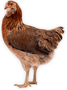 Chicken Png Image PNG Image