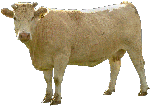 Beige Cow Png Image PNG Image
