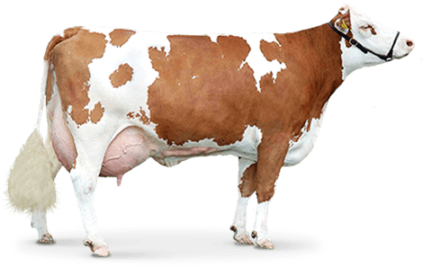 Brown Cow Png Image PNG Image