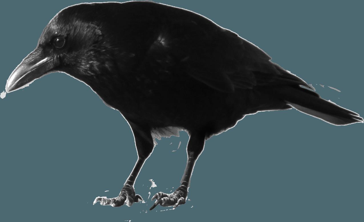 Картинка ворона для детей на прозрачном фоне, марта