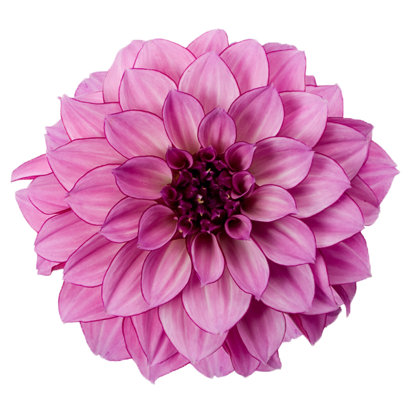 Dahlia Free Download Png PNG Image