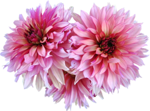 Dahlia Png Image PNG Image