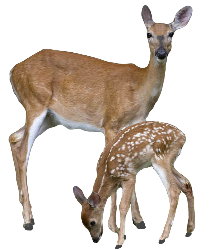 Transparent Deer With Baby Deer PNG Image