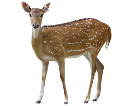Deer Png Clipart PNG Image
