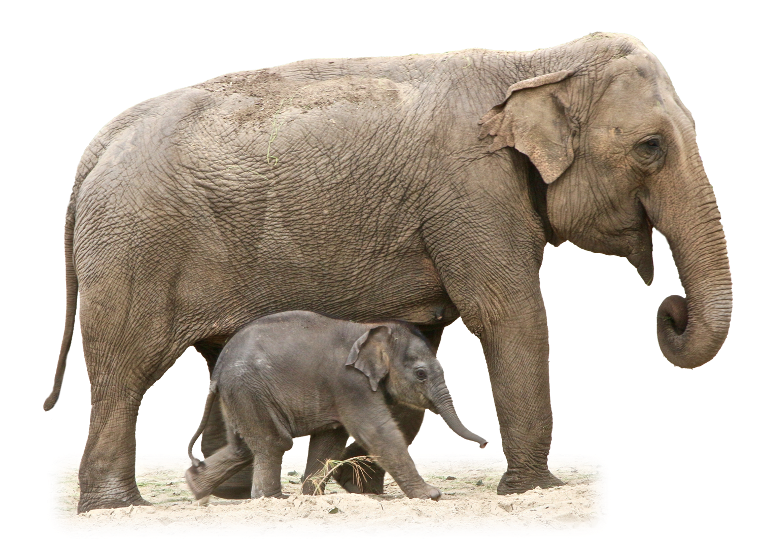Elephant Transparent PNG Image