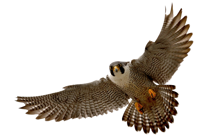 Falcon Clipart PNG Image