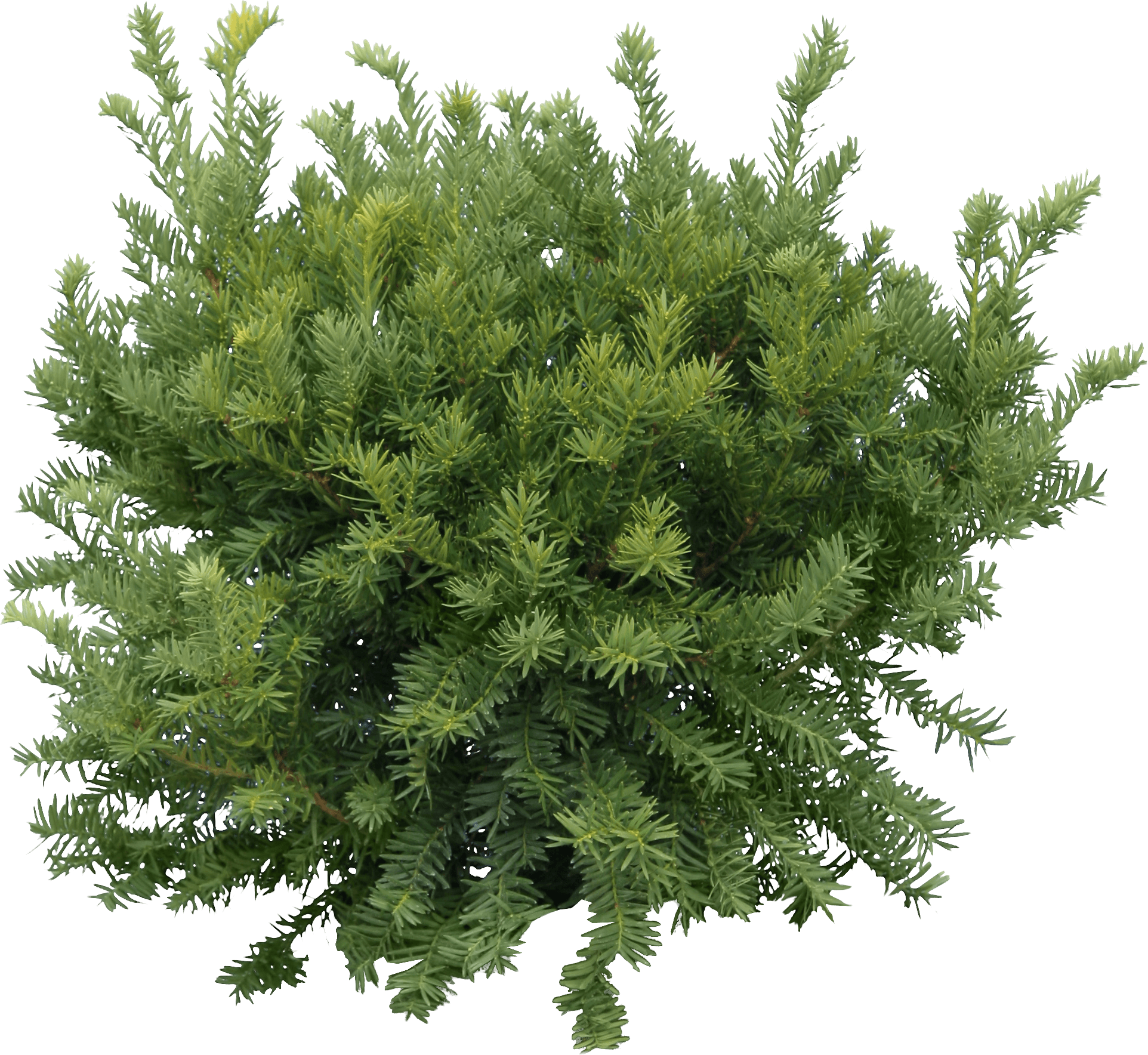 Fir-Tree Png Image PNG Image