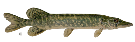 Real Fish Picture PNG Image