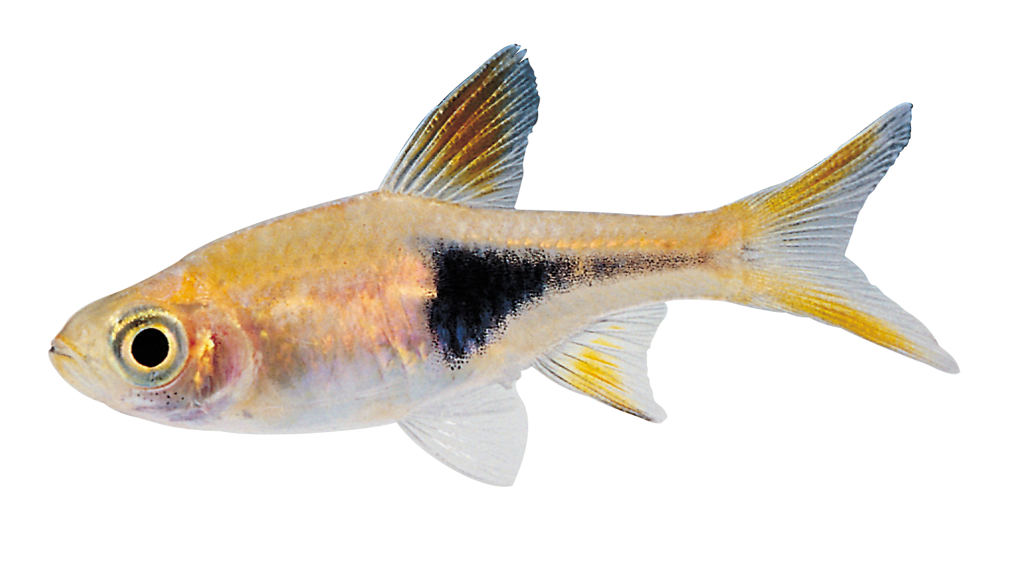 Real Fish Hd PNG Image