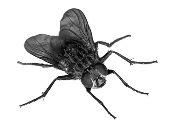Flies Transparent PNG Image