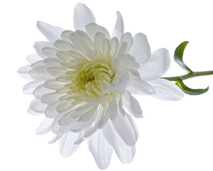 Chrysanthemum Transparent PNG Image