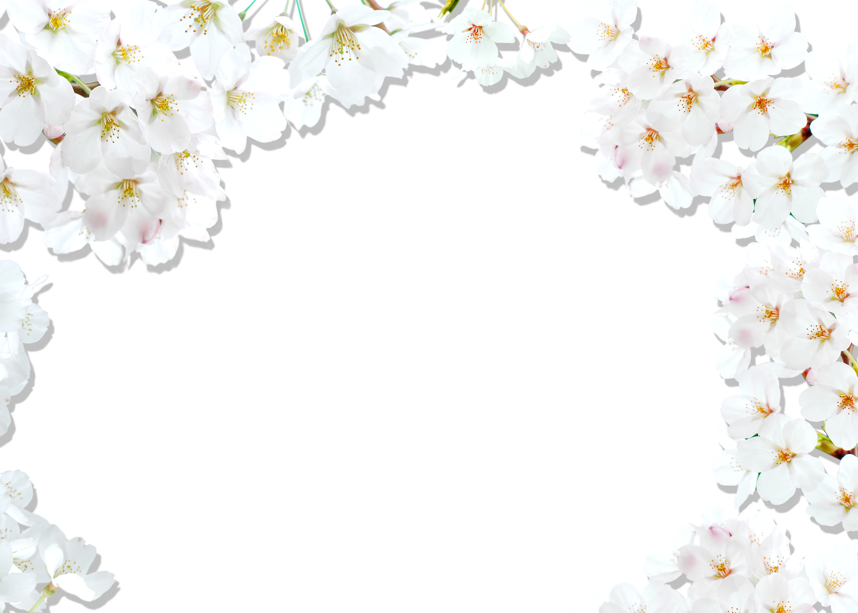 Blossom Cherry National Festival White Border PNG Image